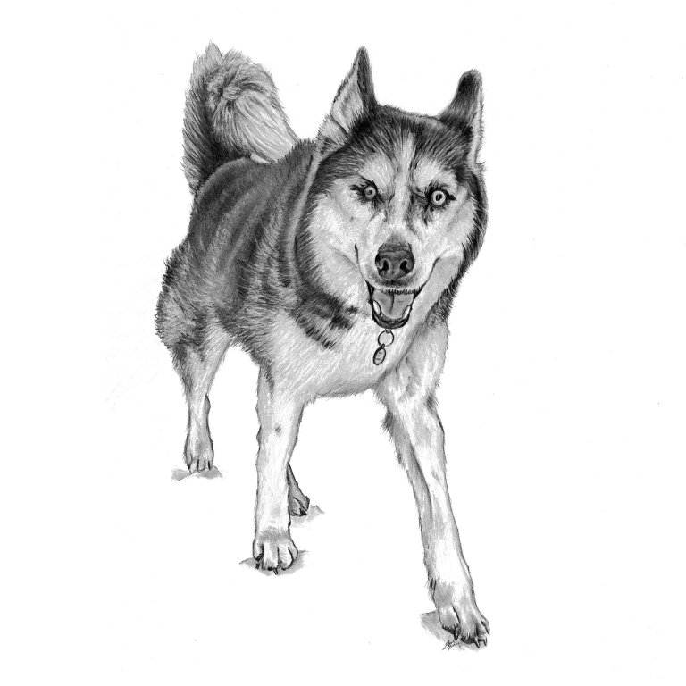 bauer dog drawing main